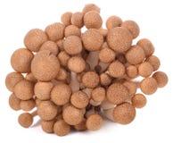 Funghi del faggio del Brown isolati su priorità bassa bianca immagine stock libera da diritti