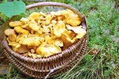 Funghi del galletto Fotografie Stock Libere da Diritti