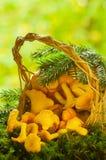 Funghi del galletto Immagini Stock