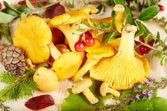 Funghi del galletto Fotografie Stock