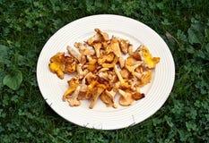 Funghi del galletto o del Girolle Fotografie Stock