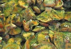 Funghi del lactarius deliciosus Fotografie Stock
