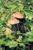 Funghi del nord Fotografia Stock Libera da Diritti