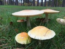 Funghi del parco Immagine Stock Libera da Diritti