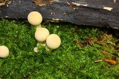 Funghi del Puffball in foresta Fotografie Stock Libere da Diritti