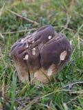 Funghi del Puffball - utriformis di Calvatia Immagine Stock Libera da Diritti