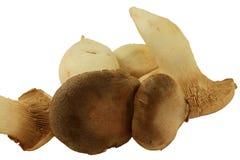Funghi del re ostrica Fotografia Stock