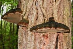 Funghi del ` s dell'artista su un tronco di albero della locusta nera Immagine Stock Libera da Diritti
