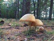 Funghi del terreno boscoso Fotografia Stock