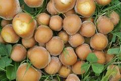 Funghi del trapuntare dello zolfo Immagini Stock