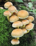 Funghi del trapuntare dello zolfo Fotografie Stock Libere da Diritti