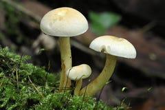 Funghi del trapuntare dello zolfo Fotografia Stock