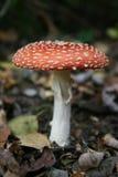 Funghi dell'agarico di mosca Fotografia Stock