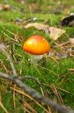 Funghi dell'agarico di mosca Fotografie Stock Libere da Diritti