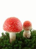 Funghi dell'agarico di mosca Immagine Stock