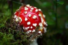 Funghi dell'agarico di mosca & x28; Muscaria& x29 dell'amanita; Immagini Stock