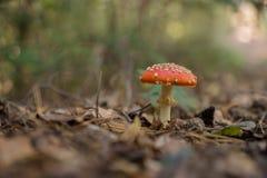 Funghi dell'agarico di mosca nella foresta Fotografie Stock