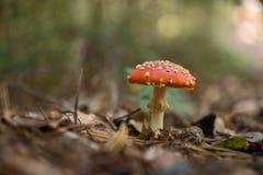Funghi dell'agarico di mosca nella foresta Fotografie Stock Libere da Diritti