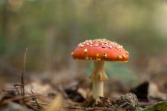 Funghi dell'agarico di mosca nella foresta Fotografia Stock Libera da Diritti