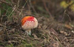 Funghi dell'agarico di mosca nella foresta di autunno Immagine Stock
