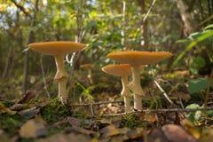 Funghi dell'agarico di mosca nella foresta, muscaria dell'amanita Fotografia Stock