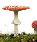 Funghi dell'agarico di mosca o dell'amanita di mosca Fotografia Stock Libera da Diritti