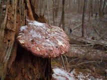 Funghi dell'albero Immagine Stock
