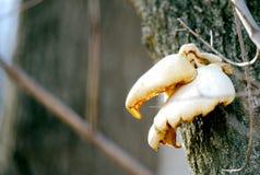 Funghi dell'albero sull'albero Immagini Stock Libere da Diritti