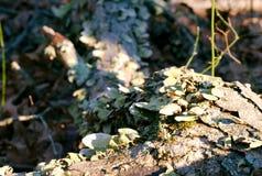 Funghi dell'albero sull'albero morto Fotografia Stock