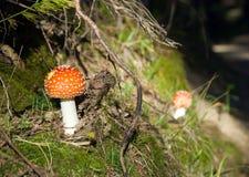 Funghi dell'amanita Immagine Stock