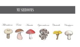 Funghi dell'illustrazione di vettore dei funghi Immagine Stock Libera da Diritti