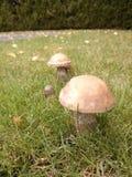 Funghi della betulla Fotografia Stock