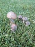 Funghi della betulla Immagine Stock