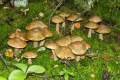 Funghi della betulla Immagini Stock Libere da Diritti