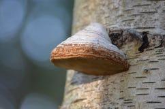 Funghi della betulla d'argento Fotografie Stock