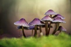Funghi della foresta Fotografie Stock Libere da Diritti