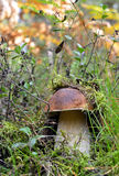 Funghi della foresta che crescono nell'erba verde Bolete commestibile della baia (badius del boletus) Immagini Stock