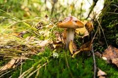 Funghi della foresta in una foresta enorme fotografia stock libera da diritti