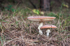 2 funghi della mosca Immagine Stock Libera da Diritti