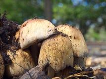 Funghi della primavera Immagini Stock