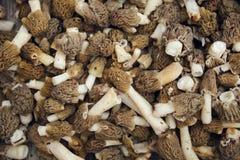 Funghi della spugnola Fotografie Stock