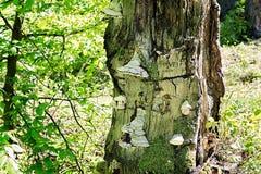 Funghi dello zoccolo che crescono su un tronco di albero morto Immagini Stock