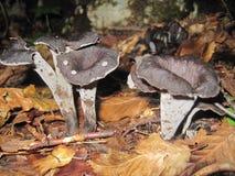 Funghi di abbondanza di Horn Immagini Stock