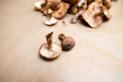 Funghi di armillaria mellea Fotografia Stock