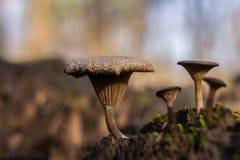 Funghi di Autumn Illinois Immagine Stock