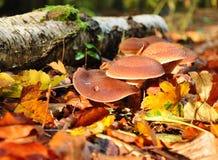 Funghi di autunno Fotografie Stock Libere da Diritti
