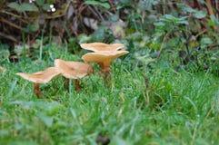 Funghi di autunno in erba Immagini Stock