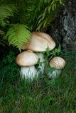 Funghi di caduta nella foresta. Fotografia Stock