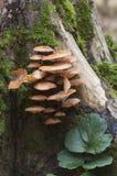 Funghi di flammulina velutipes fotografia stock libera da diritti