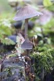 Funghi di galericulata di Mycena Fotografie Stock Libere da Diritti